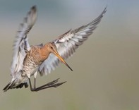 Black-tailed godwit (Limosa limosa) - credit Szabolcs Nagy, Wetlands International