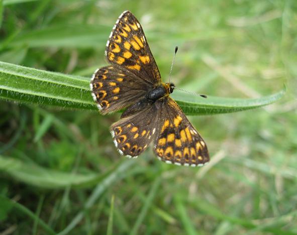 Hamearis lucina - the Duke of Burgundy butterfly