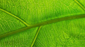 Close-up of a leaf showing its veins Credit: Christoph Rupprecht