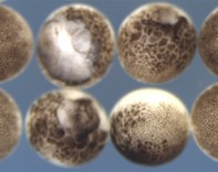 Developing embryoes - credit Dr Kevin Dingwell