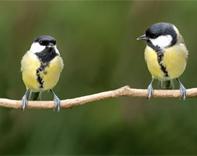 Garden birds - credit Per Tillmann