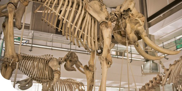 Skeletons in the Museum's collections