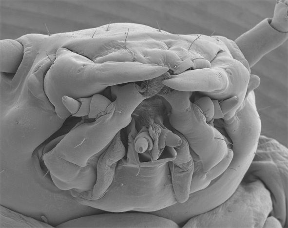 Scanning electron microscope image of the head of a burying beetle larva. Courtesy of Claudia Grossman