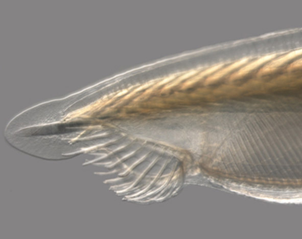 Close-up of an amphioxus