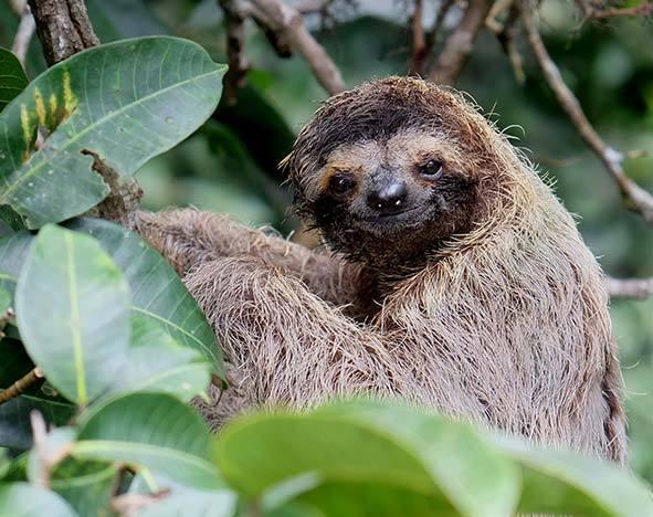 A juvenile sloth in Panama