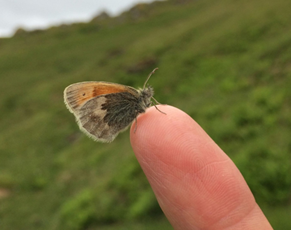 Small Heath butterfly on tip of a finger