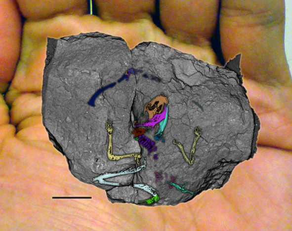 CT scan of a fossilised rodent
