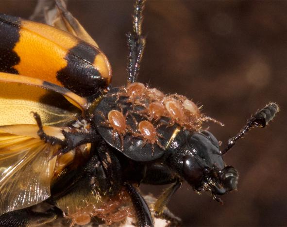 Burying beetle (Nicrophorus vespilloides) with mites (Poecilochirus carabi)