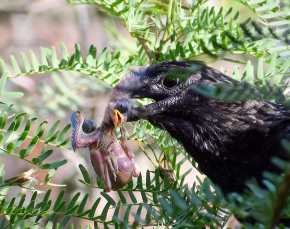 Cuckoo with prey