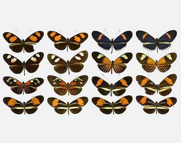 Butterfly co-mimic pairs © J Hoyal Cuthill, S Ledger and R Crowther