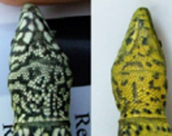 A side by side of a reptile with different coloured skin