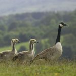 RSBP Conwy - Geese
