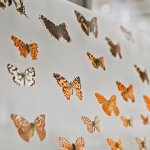 Museum collection of butterflies