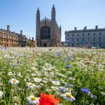image of King's College wildflower meadow