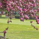 Flowering tree at Girton College