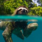 Swimming pygmy three-toed sloth from Planet Earth II