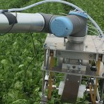 A robot arm picking lettuces