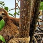 Baby sloth eating mangrove leaf