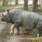Indian rhino Assam