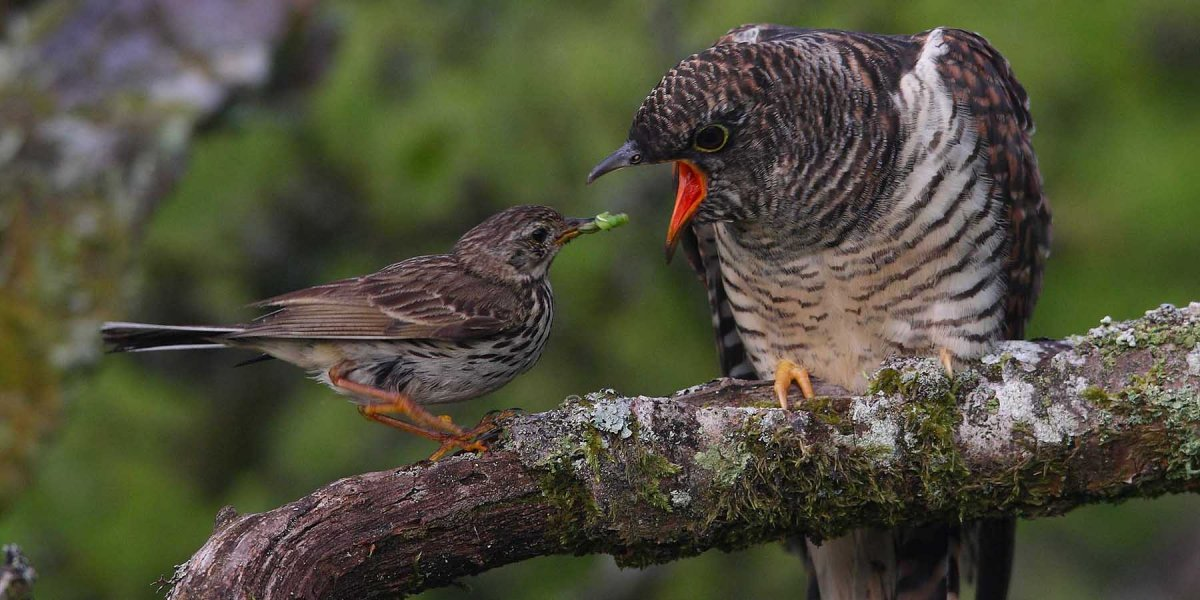 A pipit feeding a cuckoo chick