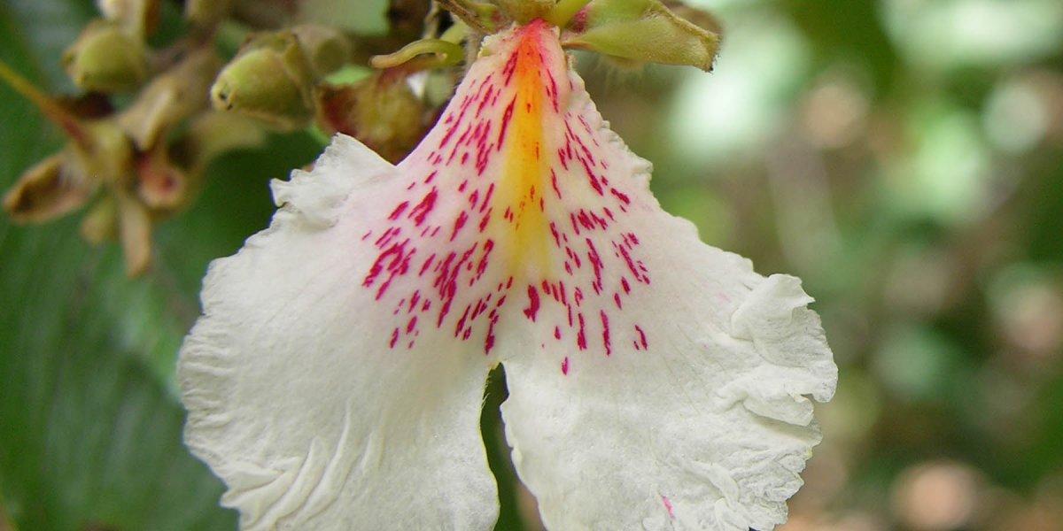 Qualea Multiflora