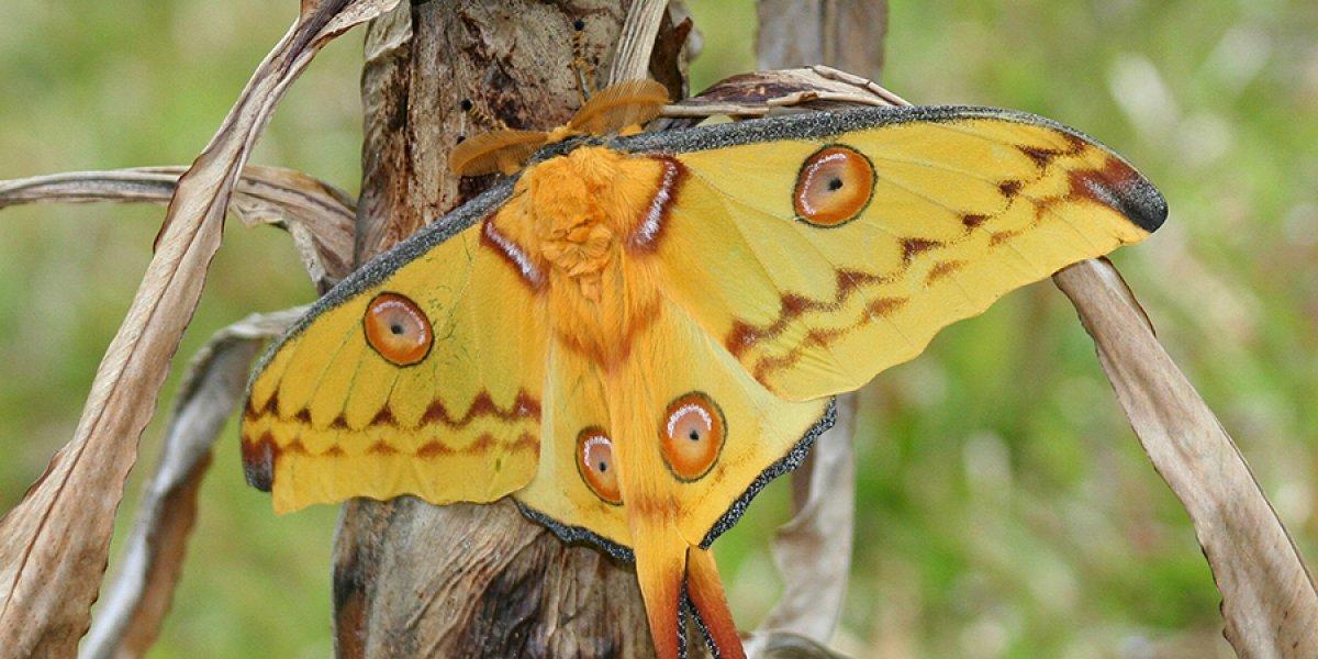 Wild comet moth (Argema mittrei)