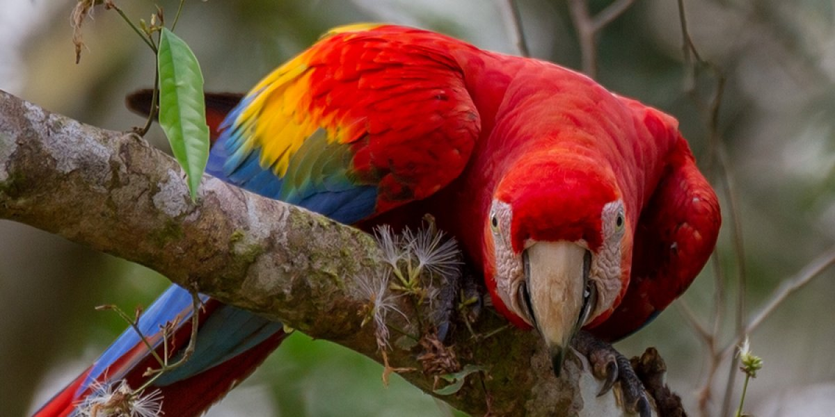 Scarlet macaw: Rainforest Expeditions (Lucas Bustamante)
