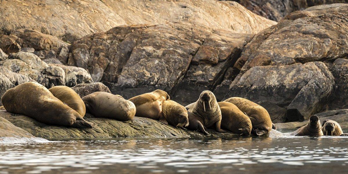 Walrus on the shore by Martin Lipman